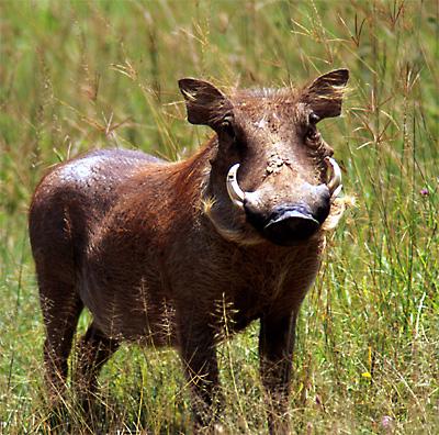 Warthog-8934